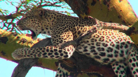 An African leopard lounges in a tree Footage