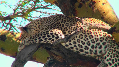 An African leopard lounges in a tree Stock Video Footage