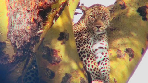 A beautiful leopard is camouflaged in a tree Footage
