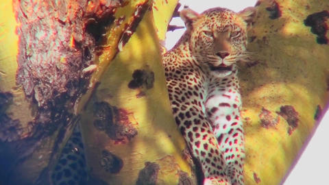 A beautiful leopard is camouflaged in a tree Stock Video Footage