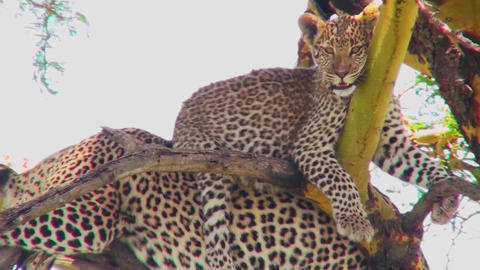 A very cute leopard baby sits on his mother in a tree in... Stock Video Footage
