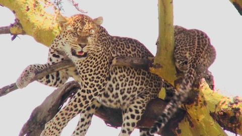 A mother leopard defends its baby in a tree in Africa Footage
