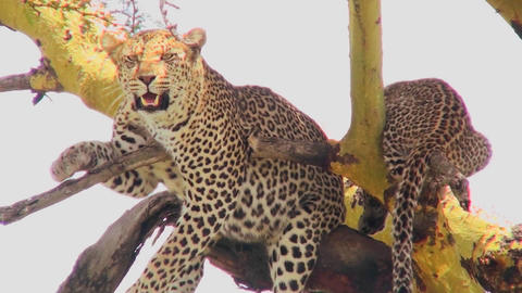A mother leopard defends its baby in a tree in Africa Stock Video Footage