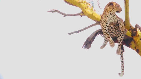 A leopard in a tree in Africa Stock Video Footage