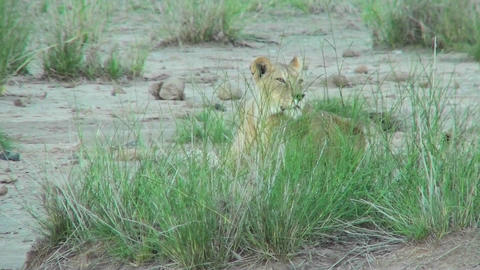 A lion hides behind some clumps of grass and observes his domain in Africa Footage