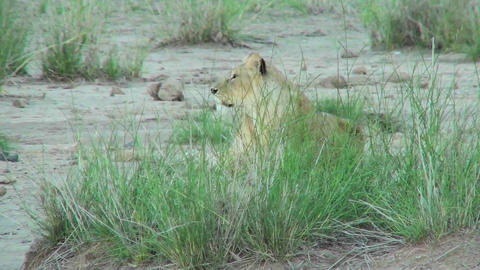 A lion hides behind some clumps of grass and observes his... Stock Video Footage