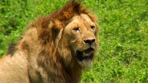 A male lion turns and looks at us on the plains of Africa Stock Video Footage