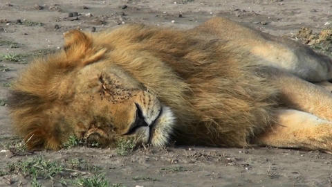 A male lion sleeps on the ground covered with flies Footage