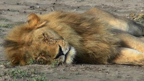 A male lion sleeps on the ground covered with flies Stock Video Footage