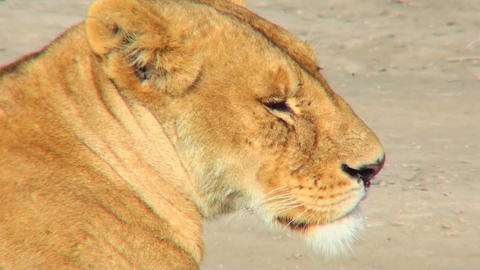 A female lioness turns to profile Footage