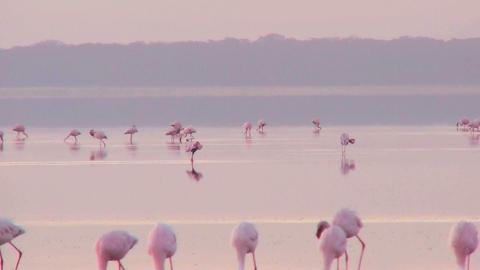 Beautiful footage of pink flamingos in early morning... Stock Video Footage