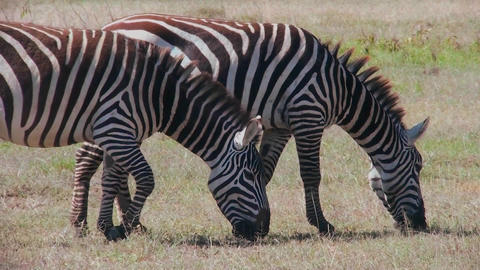 Two zebras graze in a field in Africa Footage