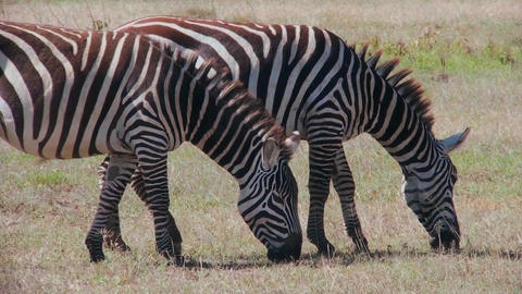 Two zebras graze in a field in Africa Stock Video Footage