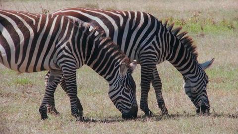 Two zebras graze in a field in Africa Stock Video Footage