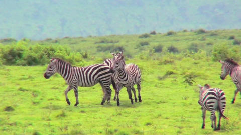 Zebras play in a field in Africa Stock Video Footage