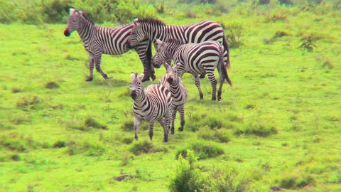 Zebras play in a field in Africa Footage