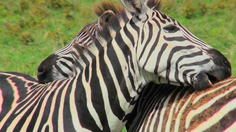 A zebra licks and bites the rump of another zebra Footage