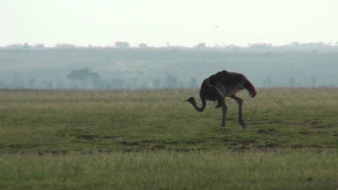 An ostrich walks across the plains of Africa Footage