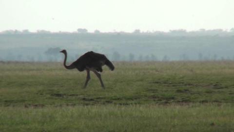 An ostrich walks across the plains of Africa Stock Video Footage