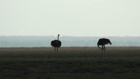 Two ostriches stand in silhouette on the plains of Africa Stock Video Footage