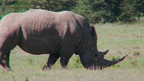 A rhino grazes on the plains of Africa Stock Video Footage