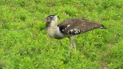 A kori bustard bird walks in grass in Africa Stock Video Footage