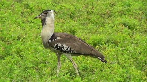 A kori bustard bird walks in grass in Africa Stock Video Footage