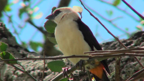 A white headed weaver sits in a tree looking around Footage
