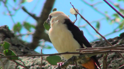 A white headed weaver sits in a tree looking around Stock Video Footage