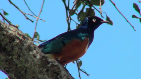 A superb starling sits perched in a tree in Africa Stock Video Footage