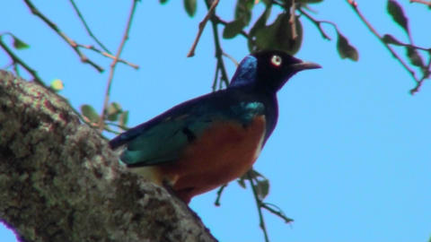 A superb starling sits perched in a tree in Africa 영상물