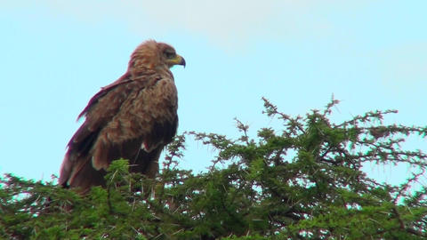 A tawny eagle sits on his perch surveying the Africa countryside Footage