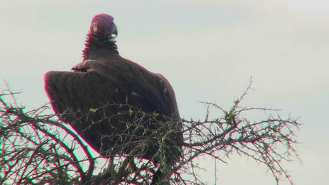 An AFrican vulture sits in a tree looking around Stock Video Footage