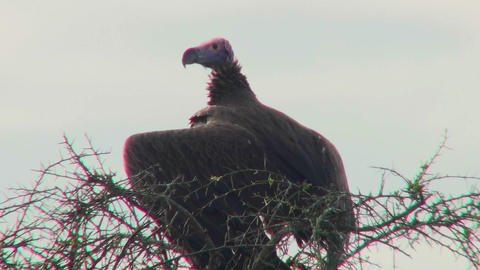 An AFrican vulture sits in a tree looking around Footage