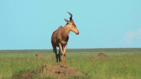 A topi African antelope standing on top of an anthill Footage
