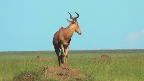 A topi African antelope standing on top of an anthill Stock Video Footage