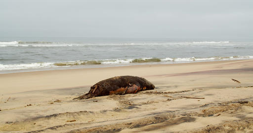 Dead seal is lying on the sand on the shore of Atlantic ocean, 4k Live Action