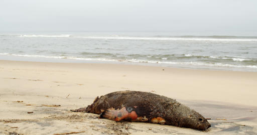 Corpse of a seal on the shore of Atlantic ocean, waves on the background, 4k Live Action