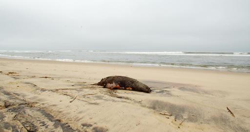 Dead seal on the beach of Namibia, Namib desert, Atlantic ocean, 4k Live Action