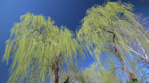 Green willow trees with small fresh leaves at early spring time Live Action