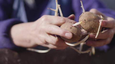 Close-up of female Caucasian old hands holding potato. Unrecognizable elderly Live Action