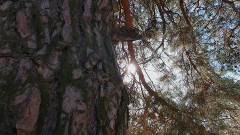 A look at the sun through pine branches and needles, a sunbeam Live Action