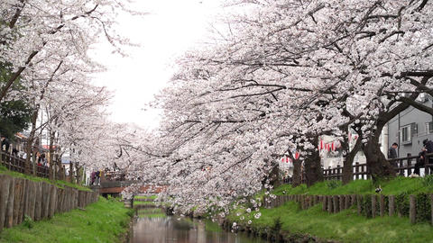 Cherry tree and small river GIF
