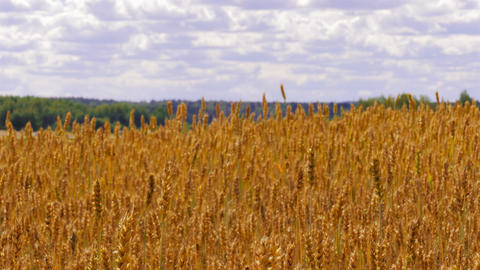 4K Camera Rises Above Golden Wheat Field, Showing Landscape With Green Forest Footage