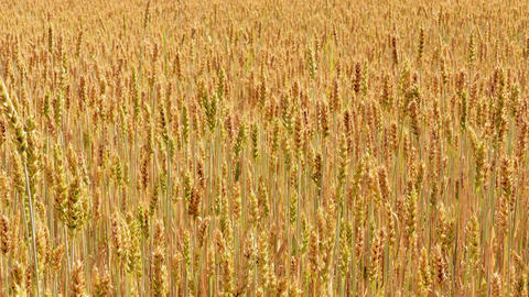 4K Sliding Along Field of Ripe Golden Wheat Footage