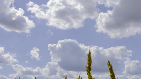 4K Camera Slides From Wheat Field to Single Ear of Wheat on A Footage
