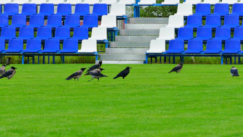4K Crows Sitting on Green Lawn of Empty Football Field With Blue Benches Footage