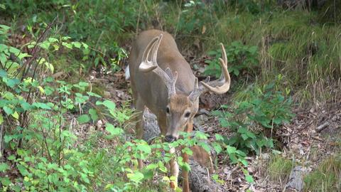 Male deer walking in the woods Footage