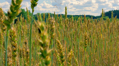 4K Sliding Along Field of Green and Yellow Unripe Wheat on Background Of Footage