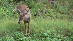 Buck eating grass in a forest Footage